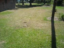 browned lawn